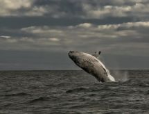 Royal Whale Watching